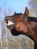 Cheval avec un sens de l'humour Photographie stock libre de droits