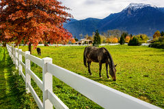 Cheval, barrière blanche à une ferme en Colombie-Britannique, Canada Photos stock