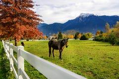 Cheval, barrière blanche à une ferme en Colombie-Britannique, Canada Images stock