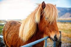 Cheval beau sur les plaines de l'Islande Photos libres de droits