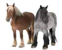 Cheval belge, cheval lourd belge, Brabancon photographie stock libre de droits