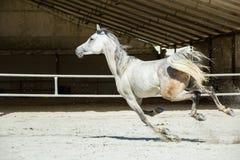 Cheval blanc Photographie stock libre de droits