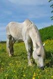 Cheval blanc Images libres de droits