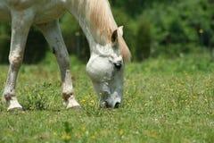 Cheval blanc photographie stock