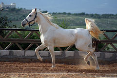 Cheval blanc Photos stock