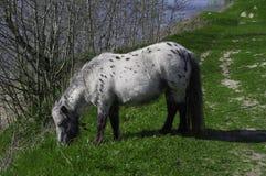 Cheval blanc Image libre de droits