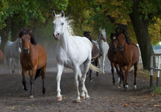 Cheval blanc Arabe sur la route de village Photo stock