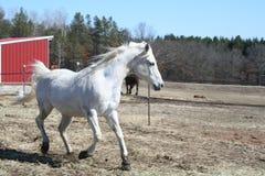 Cheval blanc avançant à petit galop au printemps Photographie stock