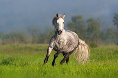 Cheval blanc avec la longue course de crinière photos stock