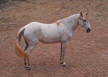 Cheval blanc avec les cheveux rouges image libre de droits