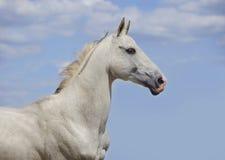 Cheval blanc d'akhal-teke avec le ciel bleu derrière Photographie stock libre de droits