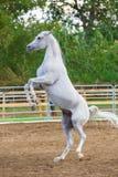 Cheval blanc d'emballement se tenant sur ses jambes de derrière Photo stock