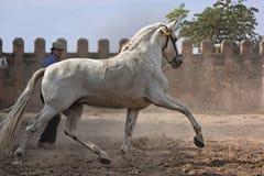 Cheval blanc d'Espagnol de race Photographie stock libre de droits