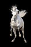 Cheval blanc d'isolement Image libre de droits