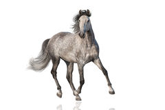 Cheval blanc d'isolement image stock