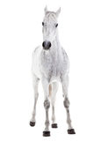 Cheval blanc d'isolement sur le blanc Photographie stock