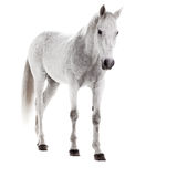 Cheval blanc d'isolement sur le blanc Images stock
