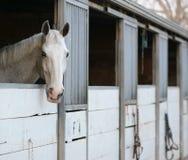 Cheval blanc dans l'écurie blanche Images libres de droits