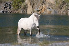 Cheval blanc dans l'eau Images stock