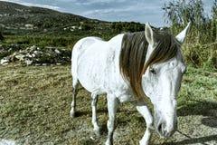 Cheval blanc dans la campagne images stock