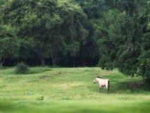 Cheval blanc dans la forêt verte de fond en été, tir tranquille d'un cheval masculin blanc dans le domaine d'herbe verte photo libre de droits
