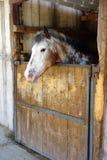 Cheval blanc dans la stalle Photos libres de droits