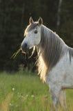 Cheval blanc dans le coucher du soleil Photographie stock