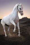 Cheval blanc dans le désert Photo stock