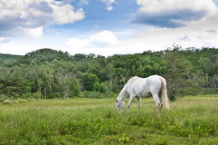 Cheval blanc dans le domaine Photographie stock libre de droits