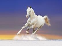 Cheval blanc dans le lever de soleil Images libres de droits
