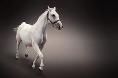 Cheval blanc dans le mouvement d'isolement sur le noir Photos stock