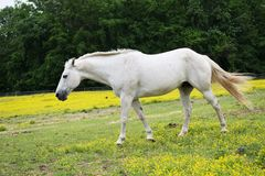 Cheval blanc dans le pâturage horizontal Images libres de droits