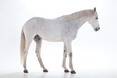 Cheval blanc dans le studio Photos stock