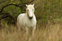 Cheval blanc de Camargue Photos libres de droits