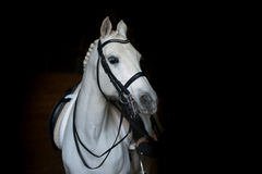 Cheval blanc de dressage Images libres de droits