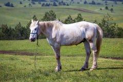 Cheval blanc domestique dans le domaine sur une montagne Photo libre de droits