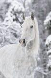 Cheval blanc en hiver images libres de droits