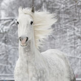 Cheval blanc en hiver Photo stock