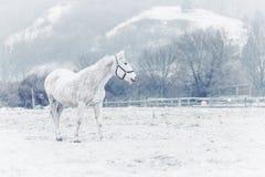 Cheval blanc en hiver Photos libres de droits