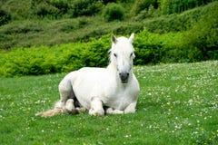 Cheval blanc en péninsule de Dingle, Kerry, Irlande image libre de droits