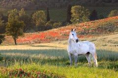 Cheval blanc en Toscane photographie stock