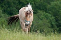 Cheval blanc entrant en avant dans l'herbe Image stock