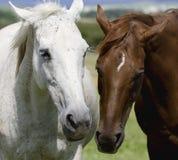 Cheval blanc et brun Image libre de droits