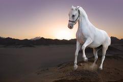 Cheval blanc et coucher du soleil dans le désert Images stock