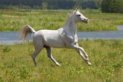 Cheval blanc et eau Photographie stock