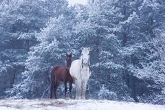 Cheval blanc et poulain - forêt d'hiver Photos libres de droits