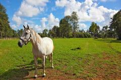 Cheval blanc frôlant dans une pelouse verte Image libre de droits