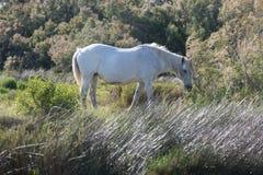 Cheval blanc frôlant en parc national de Camargue Photos stock