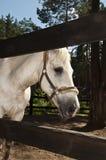 Cheval blanc par une frontière de sécurité Images libres de droits