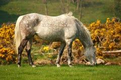 Cheval blanc repéré Photo stock